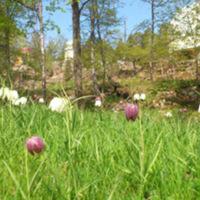 Liljor vid Kvistaberg.jpg